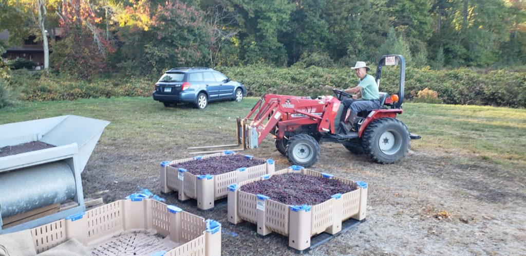 Loading Cranberries at Killingworth Cranberries