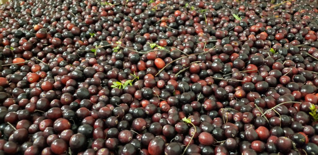 Dry harvested fresh Killingworth Scarlet Knight Cranberries